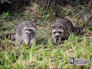 mapaches en Apaseo el Alto